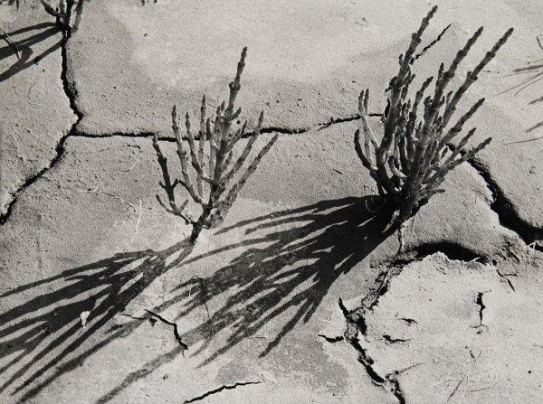 10_Triglochin maritima száraz sárban, 1928